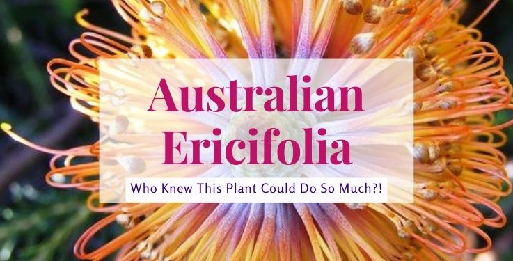 Australian Ericifolia is one of the most handy tools you'll use in your natural remedies arsenal; these 10 simple ways put it to good use!