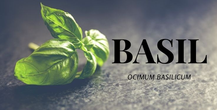 Do you know how to get the most from your Basil essential oil? These 32 seriously impressive uses are practical and so helpful!
